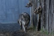 Ζώντας Με Τους Λύκους